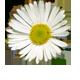chamomilla anti-inflammatory